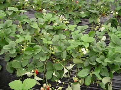 strawberry (3).jpg