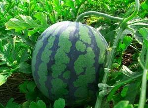 スイカの育て方|摘芯、摘果で大きく甘い果実を!