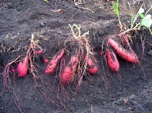 サツマイモの育て方|中耕・土寄せで大収穫!