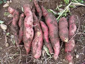 サツマイモのプランター栽培|深型で元肥をがっちり大きい芋に
