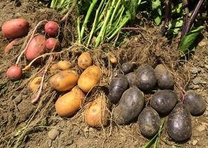 ジャガイモの育て方|太らせ大収穫を!