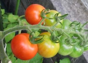 トマトの病気|尻腐れ病の原因と対策
