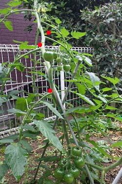 tomato120.jpg