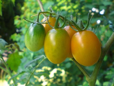 tomato .jpg