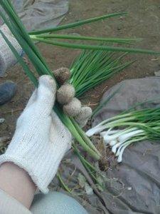 ワケギの育て方|刈り取り追肥で繰り返し収穫!