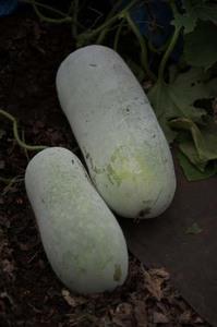 トウガン(冬瓜)の育て方|肥料は控えめに